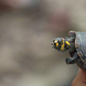 Ocalić żółwie – praca dla ochotników