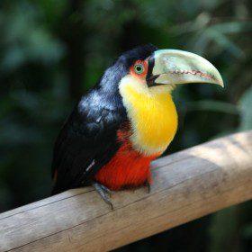 Brazylijski tukan