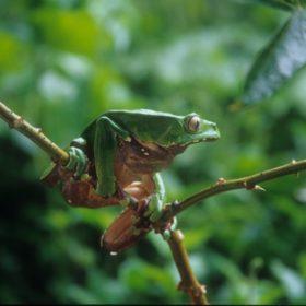 Czerwonooka żaba