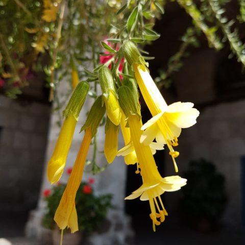Cantut, kwiat Inkow, fot. Beata Pawlikowska