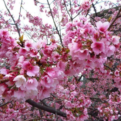 Kwitnące drzewa wiśni, fot. Beata Pawlikowska