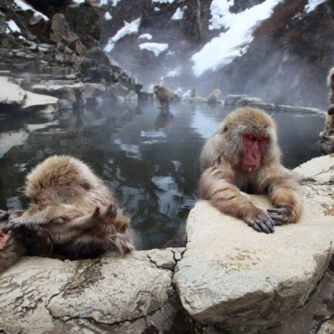 Makaki Śnieżne w japońskich Himalajach, fot. Beata Pawlikowska