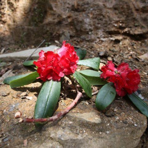 W kwietniu w Himalajach cudnie kwitną rododendrony, fot. Beata Pawlikowska