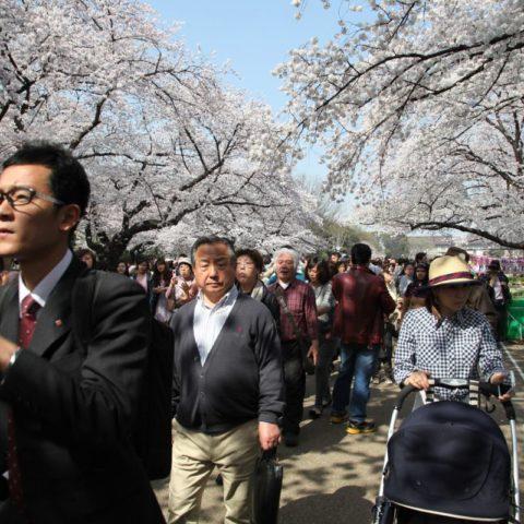 Sakura - festiwal kwitnących wiśni, fot. Beata Pawlikowska