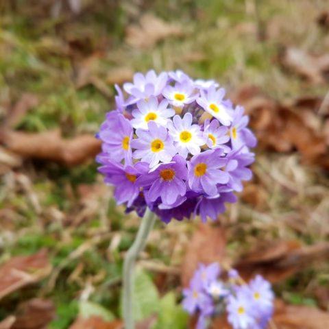 Kwiaty Bhutanu, fot. Beata Pawlikowska