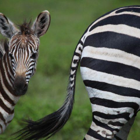 Zebry na sawannie w Kenii,  fot. Beata Pawlikowska