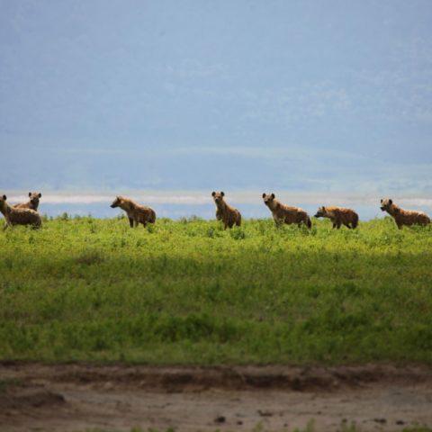 Hieny na sawannie Serengeti, tanzaniua,  fot. Beata Pawlikowska