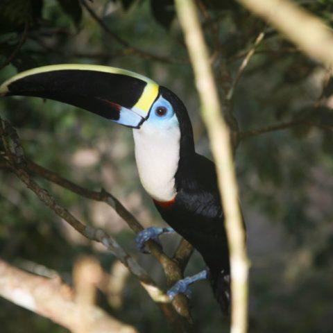 Tukan w dzungli amazońskiej, Brazylia,  fot. Beata Pawlikowska