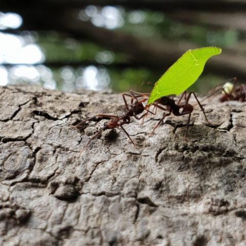 Mrówki parasolowe, Brazylia,  fot. Beata Pawlikowska