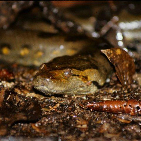 Anakonda w dzungli amazońskiej, Brazylia,  fot. Beata Pawlikowska