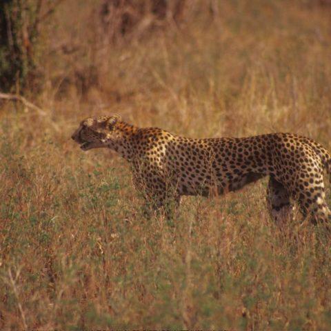 Gepard na sawannie, Kenia,  fot. Beata Pawlikowska