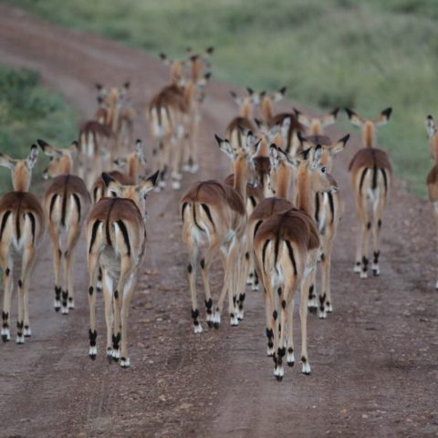 Impale na drodze w parku Masai Mara, kenia,  fot. Beata Pawlikowska