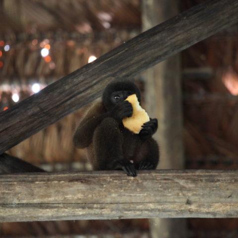 Małpka czepiak, Amazonia, Brazylia,  fot. Beata Pawlikowska