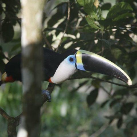 Tukan w Amazonii, Brazylia,  fot. Beata Pawlikowska