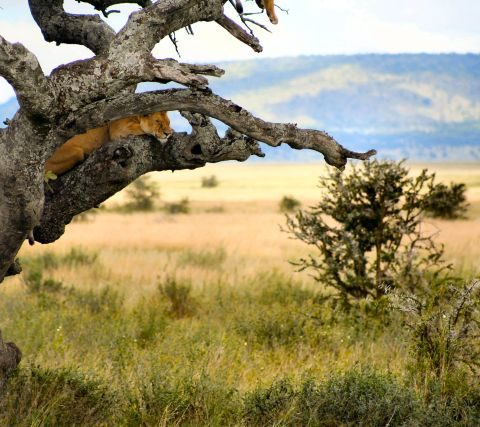 Lwica w parku Masai Mara w Kenii,  fot. Beata Pawlikowska