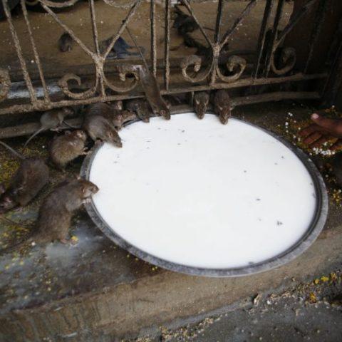 Szczury w Świątyni Szczurów, Indie,  fot. Beata Pawlikowska