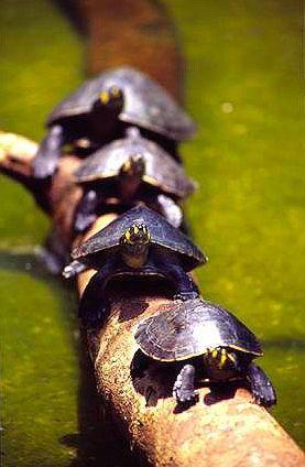 Zółwie w dżungli amazońskiej,  fot. Beata Pawlikowska