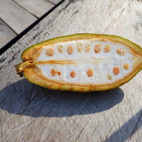 Owoc kakaowca, Theobroma cacao, dżungla w Brazylii