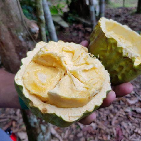 Dojrzały owoc kakaowca można jeść na surowo, ma kremowy miąższ o czekoladowym smaku