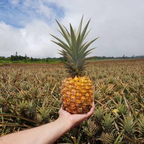Dojrzały ananas na plantacji na Hawajach