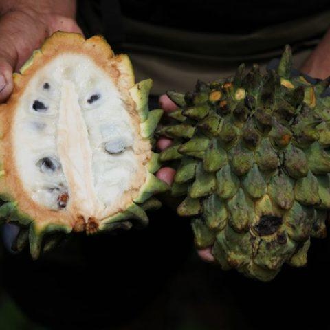 """Biribá zwana po łacinie Rollinia deliciosa, czyli """"pyszna rolinia"""", owoc o smaku słodkiego cytrynowego kremu, Brazylia"""