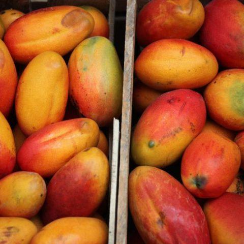 Pyszne, słodkie, aromatyczne owoce mango, Gwatemala