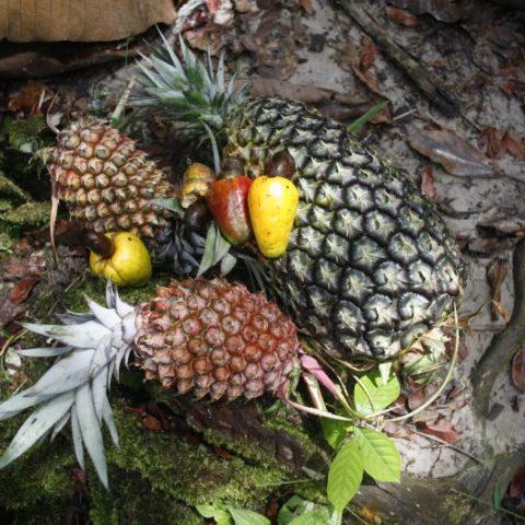 Dżunglowe ananasy i owoce marañon, Gujana Francuska.