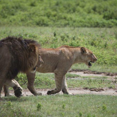 Zakochane lwy na sawannie Masai Mara, Kenia