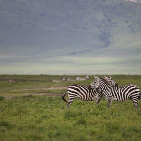 Zakochane zebry na sawannie Serengeti, Tanzania