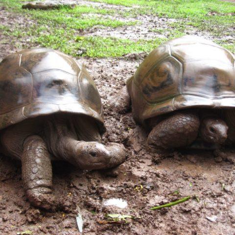 Ponad stuletni związek dwóch żółwi, Mauritius